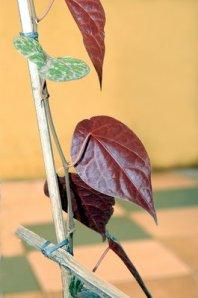 daun-sirih-merah